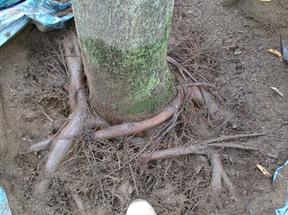 Air Spade and Root Removal